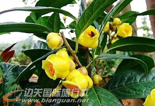 金花茶国家级自然保护区,防城港金花茶国家级自然保护区