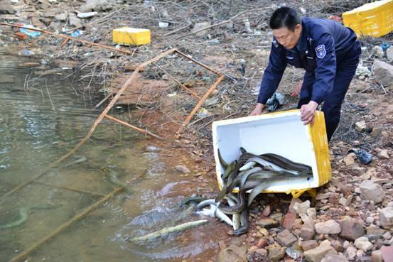 东兴市水产畜牧兽医局放生国家二级保护动物花鳗鲡鱼
