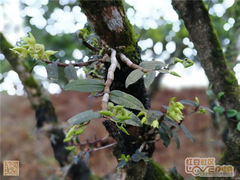 东兴不老峰石斛生态种植园